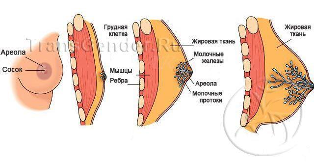 Развитие груди у трансексуалов